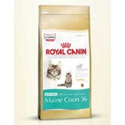 Kitten Maine Coon 4kg, kocięta Main Coon, karma Royal Canin