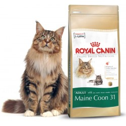MAINE COON 31 - 0,4 kg - koty rasy Maine Coon